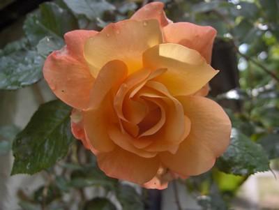 Roser 003